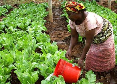 A woman watering her lettuce. Courtesy of Pixabay.