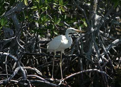 A white heron in a mangrove forest.