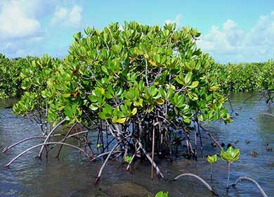 Mangrove forests sequester vast amounts of blue carbon in marine sediments.