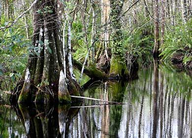 A south Florida swamp. Courtesy of NPS and Big Cypress.