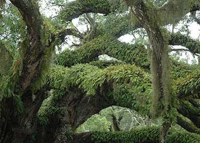 A barrier island live oak forest. Courtesy of NPS and Cumberland Island.