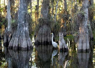 An Everglades cypress swamp. Courtesy of NPS.