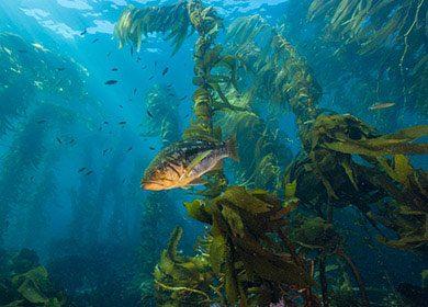 A marine kelp forest ecosystem.