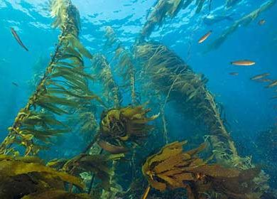 Kelp forests, which are macroalgae, convert carbon dioxide into plant biomass.
