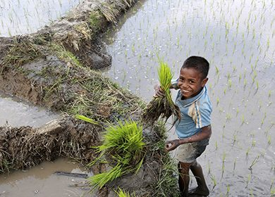 Young boy picking rice in Aileu ricefields. Photo by Martine Perret/UNMIT 26 Sept 2008