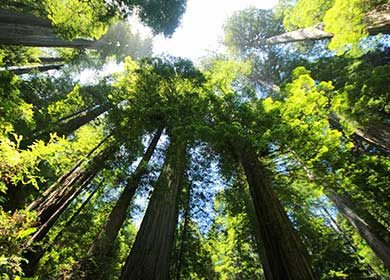 Sequoia forest. Courtesy of Pixabay.