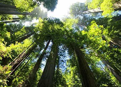 Sequoia forest. Courtesy of Pixabay.